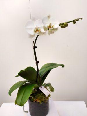 Orchidée blanche pot noir